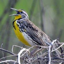 Western Meadowlark_MercedNWR-CA_LAH_9885_filtered