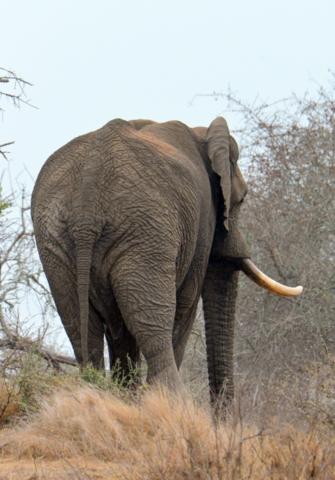 African Elephant_KrugerNP-RSA_LAH_1399