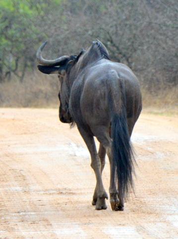Black Wildebeest_KrugerNP-RSA_LAH_1686