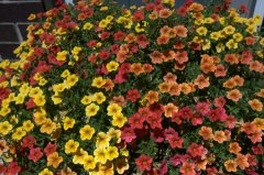 Calibrachoa _ColoSpgs-CO_LAH_5043