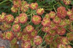 Erigonum umbellatum var aureum_Sulfur-Flower Buckwheat_DBG_LAH_1356