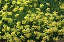 Eriogonum umbellatum_Sulphur Flower_DBG_LAH_1421