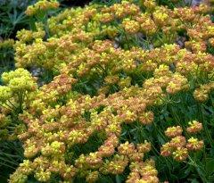 Eriogonum umbellatum_Sulphur Flower_DBG_LAH_1425