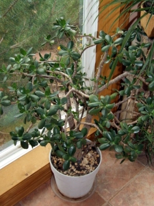 Jade plant in pot @ColoSpgs 2008Aug02 LAH 126