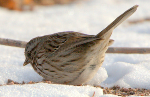 Song Sparrow_CanonCity-CO_LAH_8412