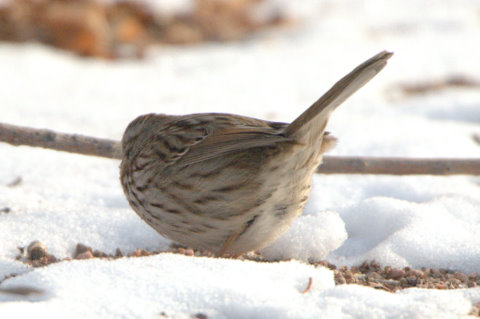 Song Sparrow_CanonCity-CO_LAH_8413