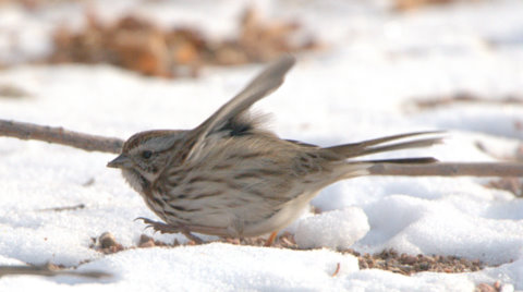 Song Sparrow_CanonCity-CO_LAH_8414