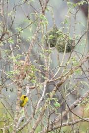 Village Weaver nests_Manzini-Swaziland_LAH_0739