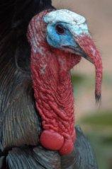 Wild Turkey_SantaRitaLodge-MaderaCynAZ_20100511_LAH_1652