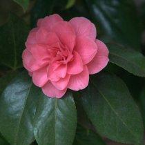 Camellia_Tacoma-WA_LAH_0021