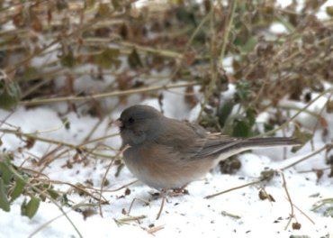 Dark-eyed Junco_BlkForest-CO_LAH_2377
