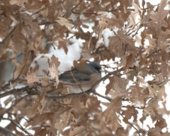 Dark-eyed Junco_BlkForest-CO_LAH_2405