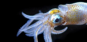 planktonic cephalopod