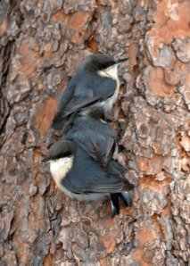 Pygmy Nuthatches_BlkForest-CO_LAH_2316