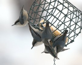 Pygmy Nuthatches_BlkForest-CO_LAH_2392