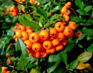 Pyracantha berries@ColoSpgs