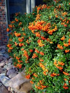 Pyracantha berries@ColoSpgs LAH 131