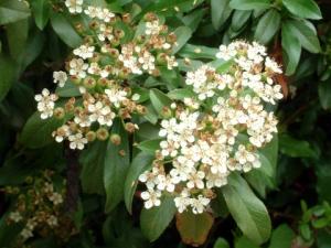 Pyracantha spp - Scarlet Firethorn flowers @CC  LAH 003