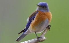 Western Bluebird_2524f-001