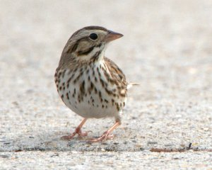 2 Savannah Sparrow_SabineNWR-LA_LAH_1724