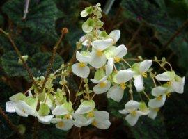 Begonia @DC LAH 002