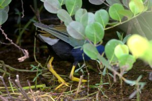 Purple Gallinule_SharkValley-EvergladesNP-FL_LAH_5866