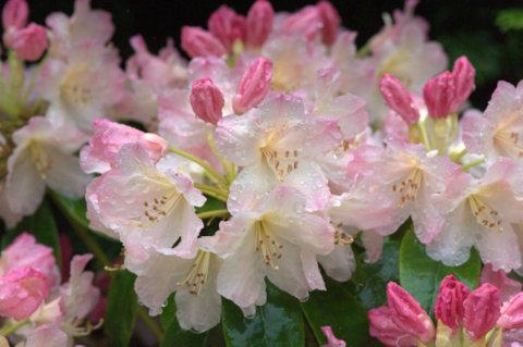 Rhododendron_Snoqualamie Falls-WA_LAH_0432