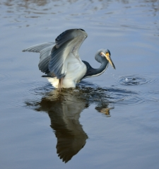Tricolored Heron_MerrittIslandNWR-FL_LAH_3462