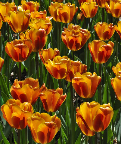 Tulips, Pt. Defiance, Tacoma, WA