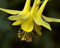 11x14 Yellow Columbine_1022x