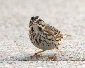 2 Savannah Sparrow_SabineNWR-LA_LAH_1728