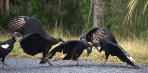 Black Vultures fighting_EvergladesNP-FL_LAH_5153