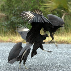 Black Vultures fighting_EvergladesNP-FL_LAH_5247