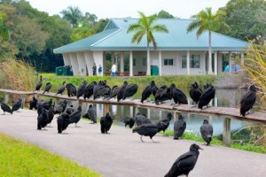 Black Vultures_EvergladesNP-FL_LAH_4716