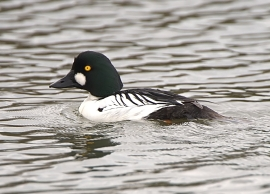Common Goldeneye_ShorelinePark-MtView-CA_LAH_9074_filtered