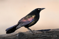 Common Grackle_Pueblo_LAH_3772c4x6fil