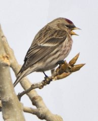 Common Redpoll_FtCollins-CO_LAH_0165