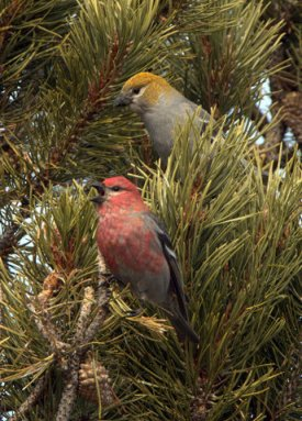 3 Pine Grosbeaks_StateForestSP-CO_LAH_6496-008
