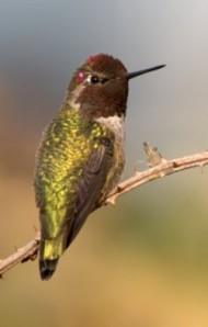 Anna's Hummingbird_EdmondsMarsh-WA_PLH_7848