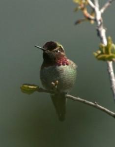 Anna's Hummingbird_MtDiablo-CA_LAH_8832