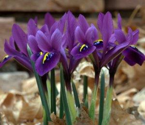 Iris hyb_HAS-ColoSpgs-CO_LAH_6365