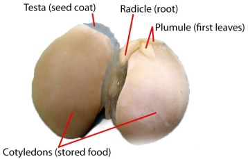 Labeled Lima seed LAH