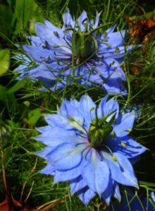 Nigella damascena - Love-in-a-Mist @DBG LAH 011