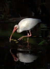 White Ibis_CorkscrewSwampSanctuary-FL_LAH_6176
