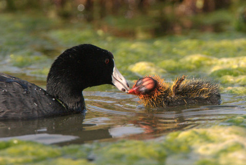 American Coot mothers recognize their own chicks, rejecting all others.