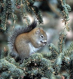 American Red Squirrel_Chickaree_ElevenMileCyn-CO_LAH_8760