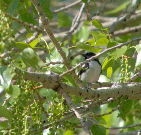 Black-throated Blue Warbler_FCNC_LAH_1400