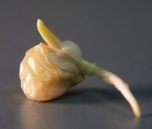 corn germinating sharpened LAH