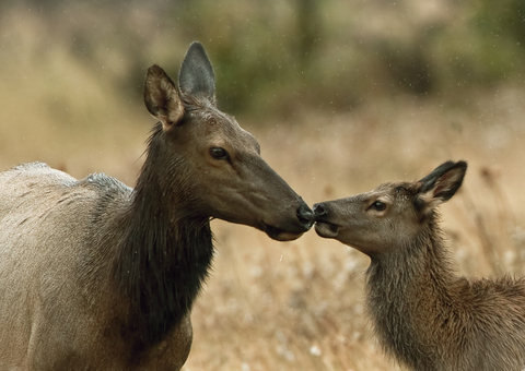 Elk calves stay with their mothers for about a year.