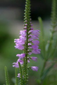 Physostegia virginiana_Obedient Plant_DBG_LAH_7141